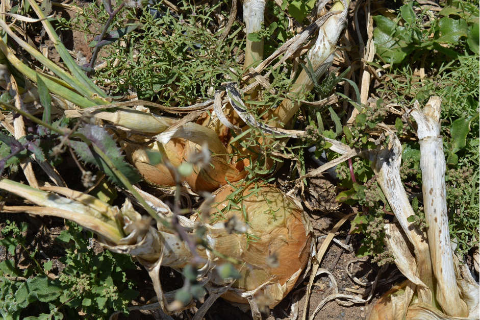 nursery onion